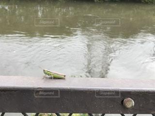 鉄柵の上でたそがれるイナゴの写真・画像素材[2217149]