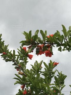 ザクロの花と曇り空の写真・画像素材[2217262]