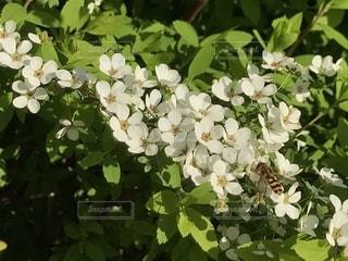 ユキヤナギの花とアブの写真・画像素材[2218522]