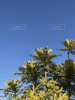 ヒイラギナンテンと青空の写真・画像素材[2220422]
