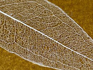 ナンテンの葉の葉脈標本の写真・画像素材[2308452]