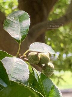 青いドングリの枝の写真・画像素材[2458835]