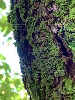苔むした幹の写真・画像素材[2725212]