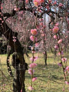 梅の写真・画像素材[2216522]