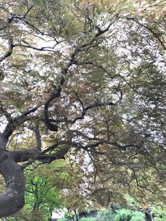 春も赤く紅葉するベニシダレモミジの写真・画像素材[2277689]