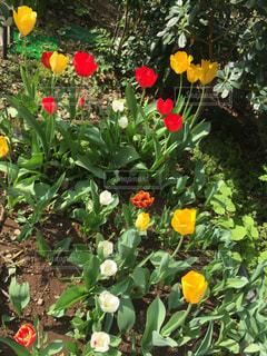 花盛りのチューリップの写真・画像素材[2280236]