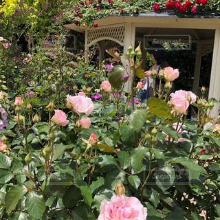 バラが屋根にあるバラ園の写真・画像素材[2282865]