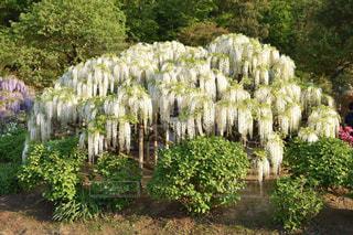 白の藤の花の写真・画像素材[2283726]