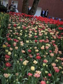 八重咲きもある横浜公園の満開のチューリップの写真・画像素材[2318081]