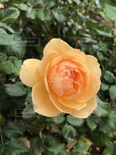 バラ園のアンジェリカのバラの花の写真・画像素材[2714618]