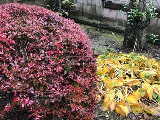 枯れた擬宝珠と赤いドウダンツツジの写真・画像素材[2758674]