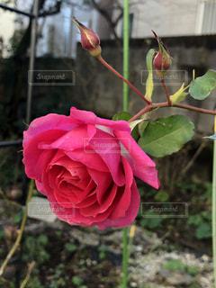 綺麗なうららのバラの写真・画像素材[2881432]