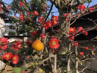 ボケの実と満開のボケの花の写真・画像素材[2994428]