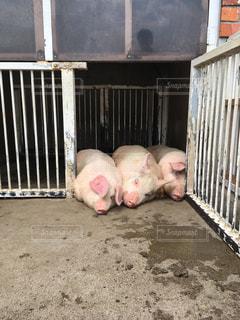 3匹の豚の写真・画像素材[2236479]