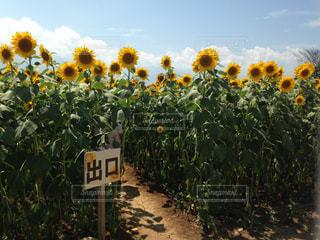 ひまわり畑の写真・画像素材[2272819]