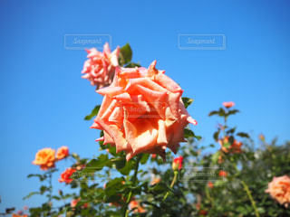 薔薇の写真・画像素材[2681119]
