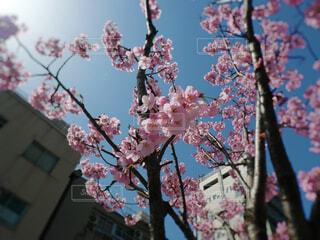 河津桜の写真・画像素材[4257879]