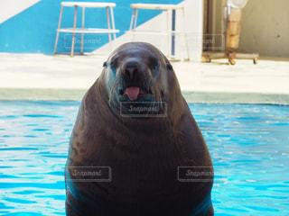 水のプールで泳ぐアザラシの写真・画像素材[2217983]