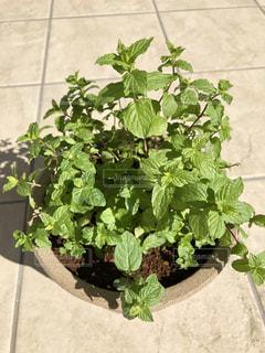 ペパーミントの鉢植えの写真・画像素材[2218252]