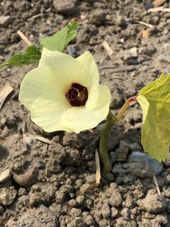 小さなオクラの花の写真・画像素材[2232115]