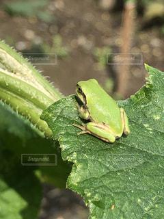 緑のカエルの写真・画像素材[2260343]