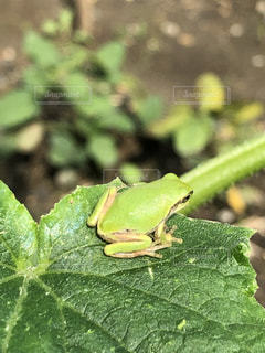 緑のカエルの写真・画像素材[2260352]