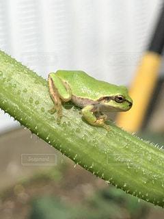 緑のカエルの写真・画像素材[2260354]