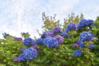 紫陽花の写真・画像素材[2218997]