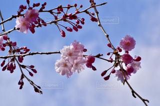 ピンクの花の群の写真・画像素材[2219818]