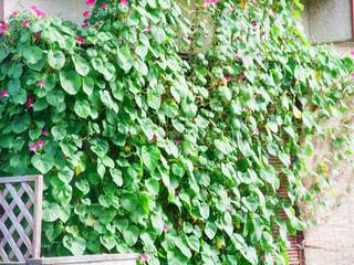 グリーンカーテンの写真・画像素材[2470264]