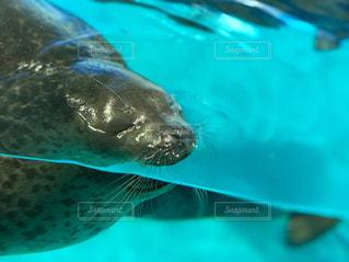 水から顔を出すアザラシの写真・画像素材[2219303]