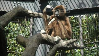 枝に座っている猿の写真・画像素材[2388461]