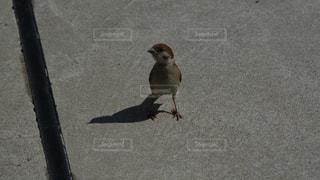 通りを歩いているスズメの写真・画像素材[2392588]