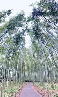 京都の竹林の写真・画像素材[2222140]