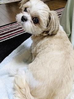 振り返る犬の写真・画像素材[2221524]