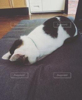土下座寝する猫の写真・画像素材[2222197]