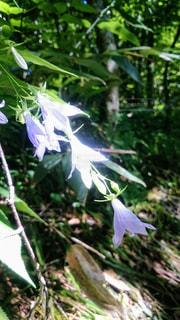高山植物の写真・画像素材[2224990]