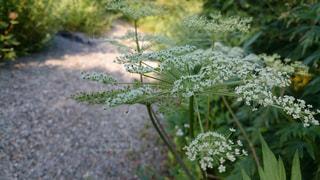 高山植物の写真・画像素材[2224994]