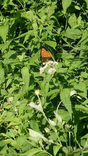 高山植物と蝶の写真・画像素材[2225030]