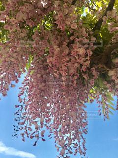 藤の花の写真・画像素材[2221973]