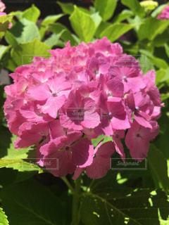 紫陽花の写真・画像素材[2246801]