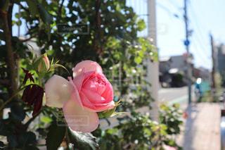 薔薇と街並みの写真・画像素材[2226512]