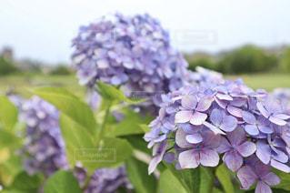 紫陽花と梅雨空の写真・画像素材[2229613]
