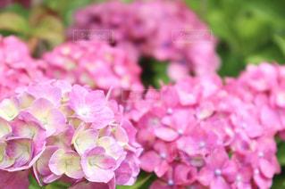 紫陽花の写真・画像素材[2229614]