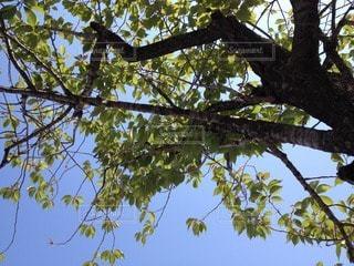 初夏の晴れた日に木陰から見上げた空。の写真・画像素材[90961]