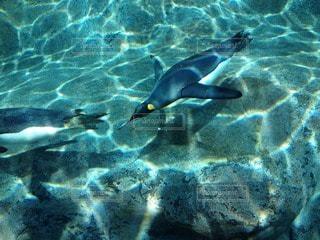 旭山動物園で撮影した、ペンギンが泳ぐ様子。涼しげな感じがするので、夏のレジャー記事のアイキャッチにも。の写真・画像素材[91538]