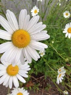 雨水にぬれた白い花。の写真・画像素材[105570]