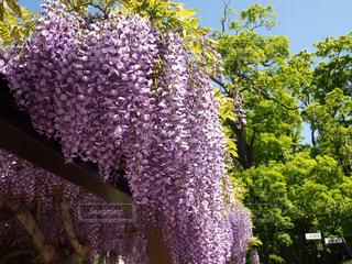 藤の花と藤棚、快晴の公園でベンチから見上げた光景の写真・画像素材[124351]