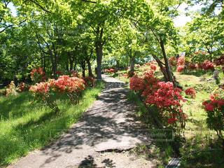 公園の小道とつつじ。朝活でウォーキングしたくなる道の写真・画像素材[124352]
