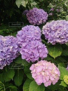 紫陽花の写真・画像素材[2253564]